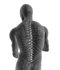 HumanModel-Torso-Spine-